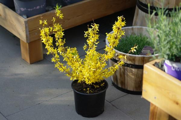 Forsythie 'Mikador'® - Forsythia intermedia (C3, 30-40cm)