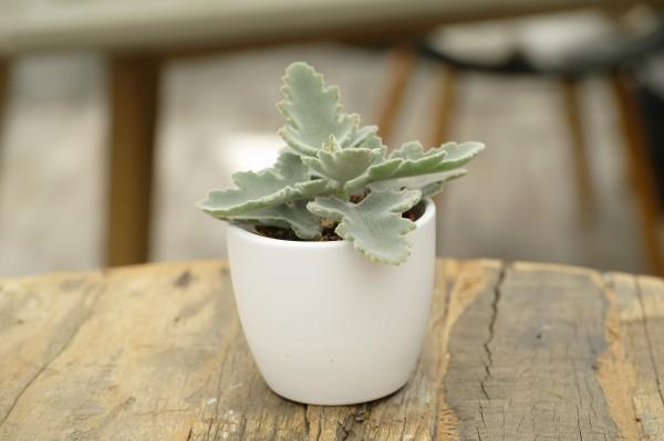 Elefantenohr-Kalanchoe - Kalanchoe behar. (Minipflanze, 6cm Topf)