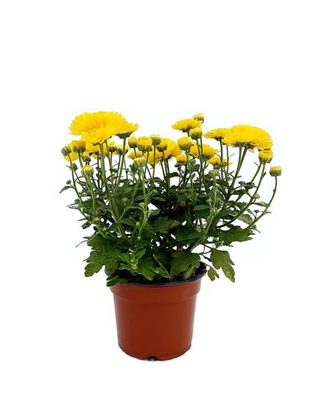 Chrysantheme 'Garden Mums' gelb - Chrysanthemum indicum (9cm Topf)
