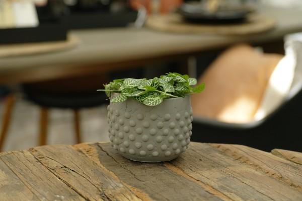 Mosaikpflanze 'Mont Blanc' - Fittonia vers. (Minipflanze, 5,5cm Topf)