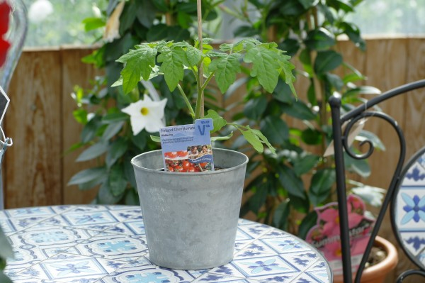 Freiland-Tomate 'Philovita' - Lycopersicon esculentum (12cm Topf)