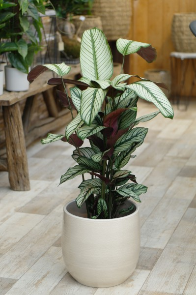 Korbmarante 'Whitestar' - Calathea majestica (19cm Topf, 70-90cm)