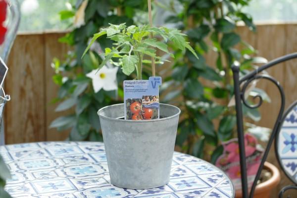 Freiland-Tomate 'Phantasia' - Lycopersicon esculentum (12cm Topf)