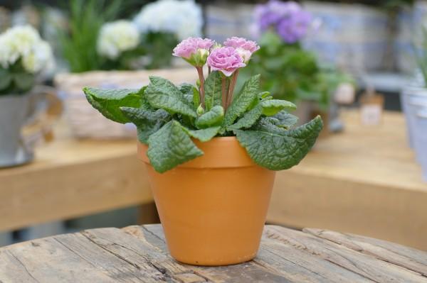 Rosenprimel (gefüllt) 'Pink Champagne' - Primula belarina (12cm Topf, 20-35cm)