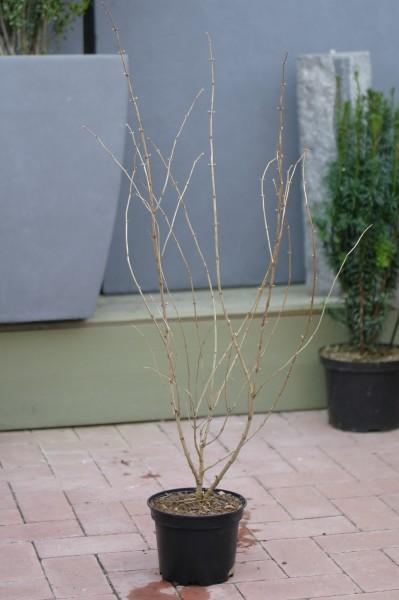 Gemeine Heckenkirsche - Lonicera xylosteum (C2, 60-80cm Höhe inkl. Kulturtopf)