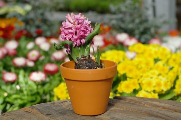 Hyazinthe rosa - Hyacinthus orientalis (7cm Vierecktopf)