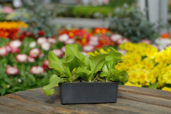 Grüner Kopfsalat - Lactuca sativa (6 Jungpflanzen)