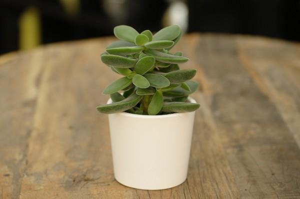 Crassula 'Stretto'® - Crassula (Minipflanze, 5,5cm Topf)