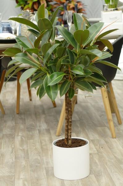 Gummibaum 'Melany' - Ficus elastica (21cm Topf, 90-110cm)