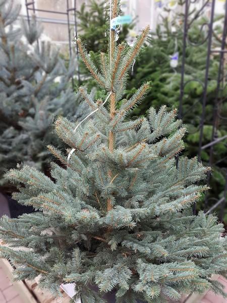 Blaufichte (175-200cm) - Weihnachtsbaum - aus Schleswig-Holstein