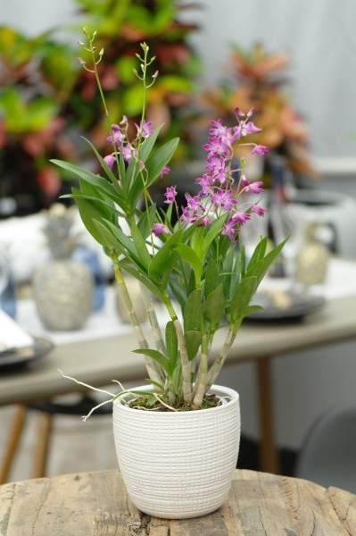 Bambusorchidee 'Berry Oda' (9 Tr.) - Dendrobium (12cm Topf, 30-50cm)