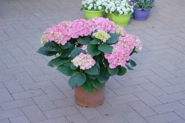 Bauernhortensie hellrosa - Hydrangea macr. (5 Liter Topf, 40-60cm)