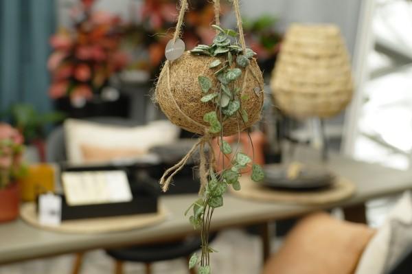 Leuchterblume 'String of Hearts' - Ceropegia woodii (12cm Kokodama)