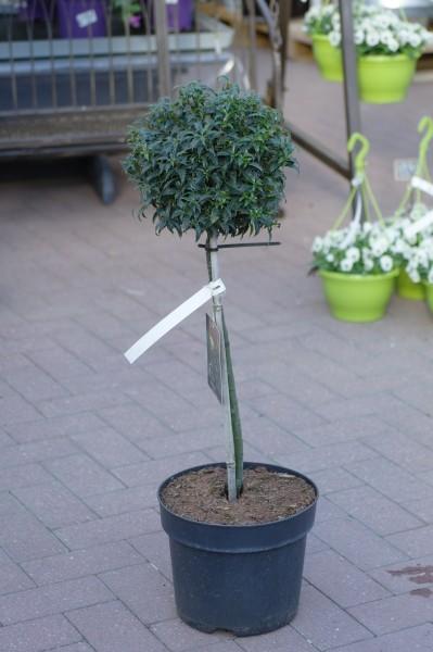Gemeine Stechpalme 'Heckenzwerg'® - Ilex aquifolium (C7,5, Sta)