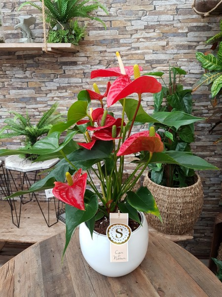 Flamingoblume 'Champion Royal' rot - Anthurium andreanum (14cm Topf, 50-60cm)