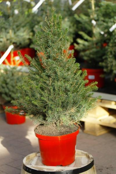 Serbische Fichte - Picea omorika (C5, topfgedr., 60-80cm)