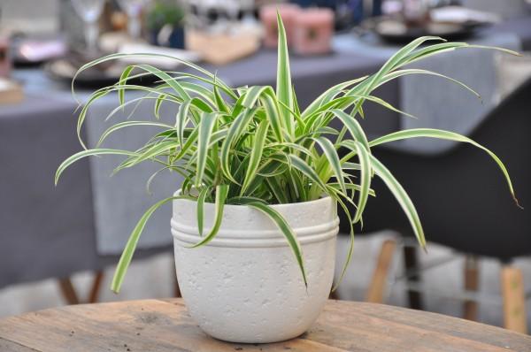 Grünlilie 'Variegatum' - Chlorophytum comos. (12cm Topf, 20-30cm Höhe inkl. Kulturtopf)