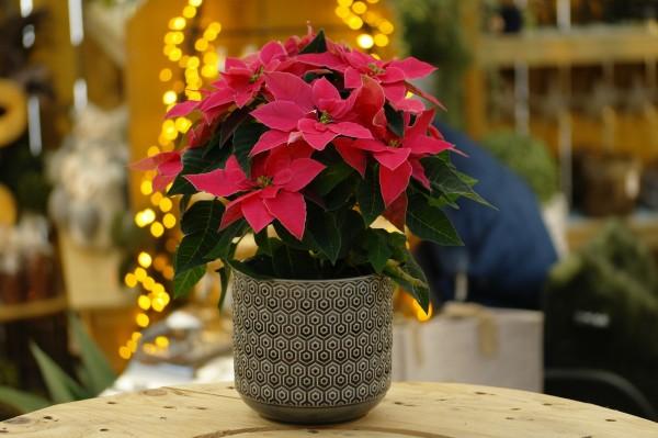 Herbststern 'Princettia® Dark Pink' Weihnachtsstern - Euphorbia pulch. (12cm Topf, 20-30cm Höhe in