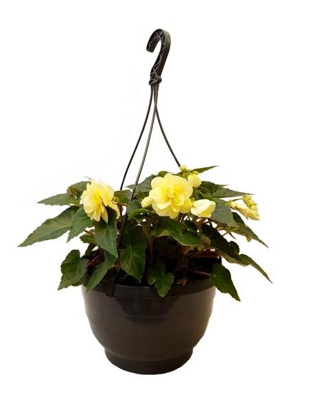 Begonie 'Chardonnay' Pflanze des Jahres im Norden 2011 - Begonia (27cm Ampel)