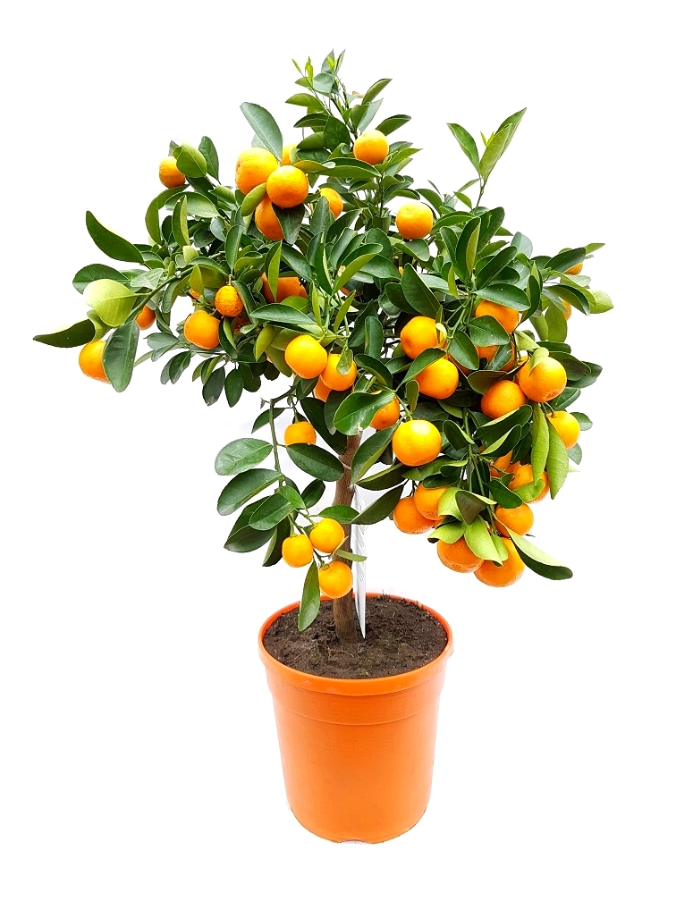 citrus calamondin stamm citrofortunella mitis 60 80cm beiers pflanzenshop. Black Bedroom Furniture Sets. Home Design Ideas