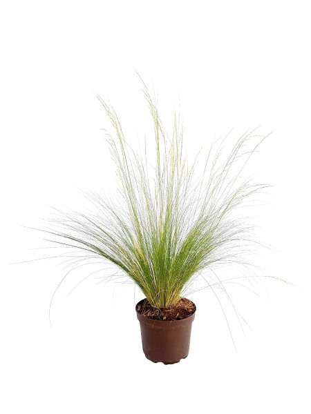 Flauschfedergras 'Ponytails' - Stipa tenuissima (17cm Topf)