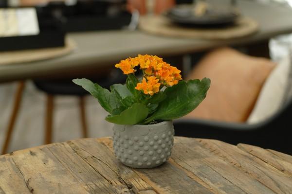 Flammendes Käthchen orange - Kalanchoe bloss. (Minipflanze, 6cm Topf)