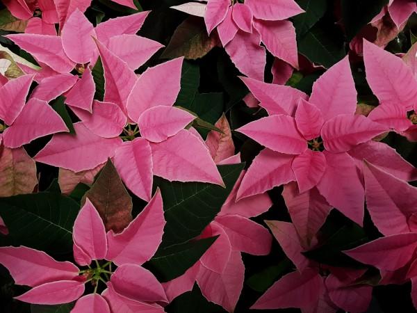 Herbststern 'Princettia Hot Pink' - Euphorbia pulch. (12cm Topf, 20-30cm)