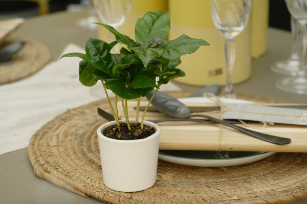 Kaffeebaum - Coffea arabica (Minipflanze, 6cm Topf)