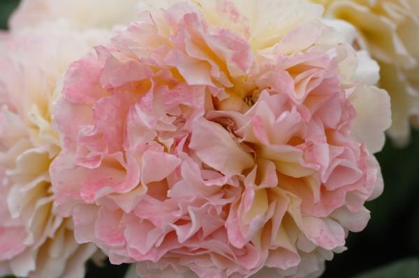 Edelrose 'Augusta Luise'® - Rosa (C4)