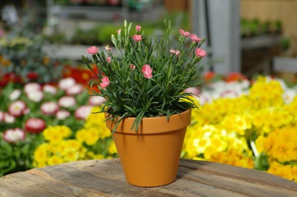 Teneriffa-Nelke 'Peach Party®' - Dianthus cary. (11cm Topf, 15-25cm Höhe inkl. Kulturtopf)