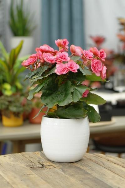 Elatior-Begonie altrosa - Begonia elatior (13cm Topf, 25-35cm Höhe inkl. Kulturtopf)