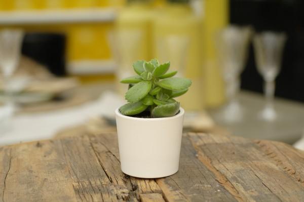 Cotyledon - Cotyledon ladismi. (Minipflanze, 6cm T.)