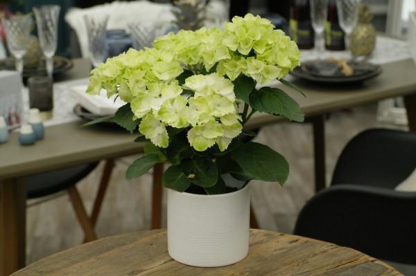 Tisch-Hortensie weiß - Hydrangea macr. (10cm Topf, 25-35cm Höhe inkl. Kulturtopf)