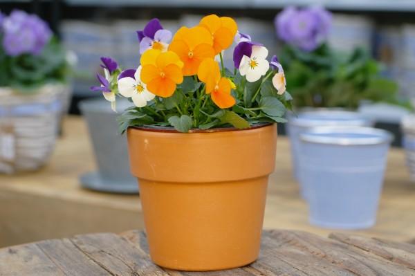 Hornveilchen DUO orange-weiß/violett - Viola cornuta (12cm Topf)