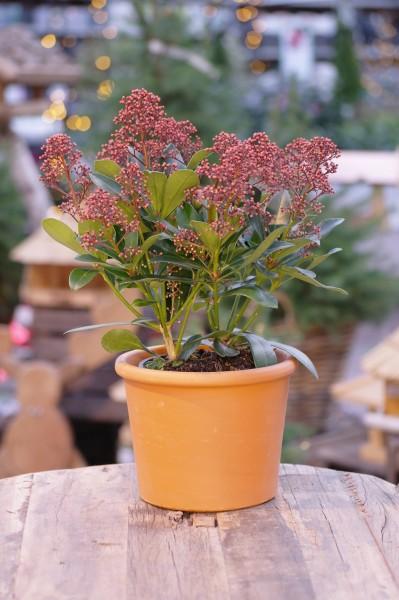 Japanische Blütenskimmie 'Rubella' - Skimmia japonica (13cm Topf)