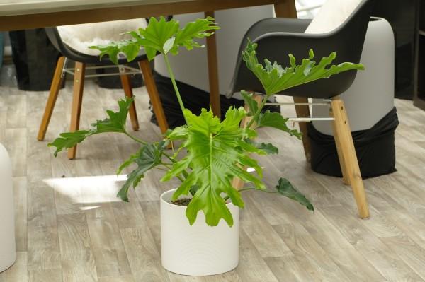 Baumfreund 'Selloum Hope' - Philodendron (19cm Topf, 60-80cm)