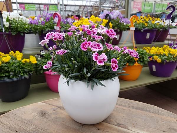 Teneriffa-Nelke 'Pink Kisses®' - Dianthus cary. (12cm Topf, 15-25cm Höhe inkl. Kulturtopf)