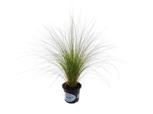 Flauschfedergras - Stipa tenuissima (12cm Topf)