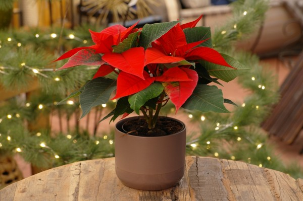 Weihnachtsstern 'Christmas Glory Red' - Euphorbia pulch. (10cm Topf, 15-20cm)