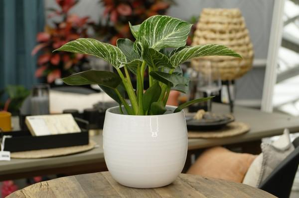 Baumfreund 'Birkin' - Philodendron (14cm Topf, 25-35cm)