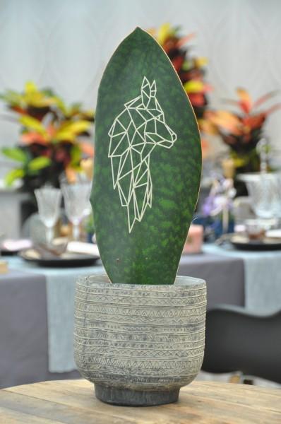 Bogenhanf 'Green Brandingz' Wolf - Sansevieria (14cm Topf, 35-55cm)