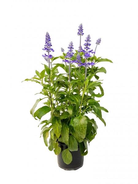 Ziersalbei 'Käpt'n Brise' Pflanze des Jahres im Norden 2016 - Salvia farinacea (12cm Topf, 35-50cm