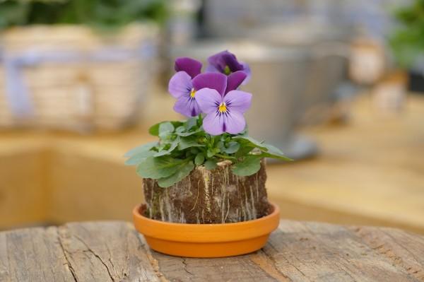 Hornveilchen violett-blau - Viola cornuta (Erdpresstopf)