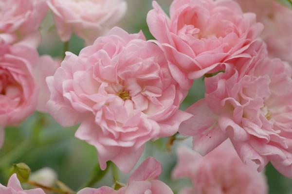 Bodendeckerrose 'The Fairy' - Rosa (C3)