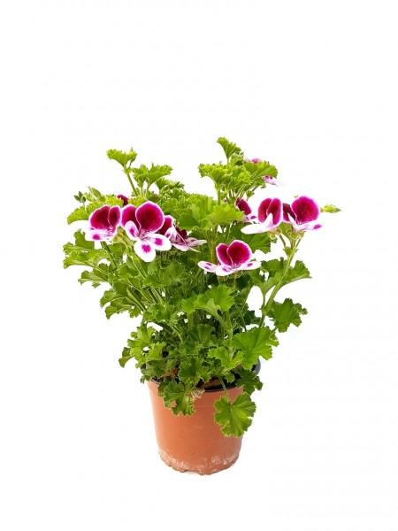 Duftgeranie 'Lillibet' Pflanze des Jahres im Norden 2013 - Pelargonium crispum (12cm Topf, 25-35cm
