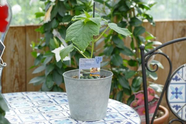 Schlangengurke 'Mini Stars F1' - Cucumis sativum (12cm Topf, veredelt)