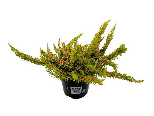 Besenheide 'Beauty Ladies Seastar' - Calluna vulgaris (10cm Topf)