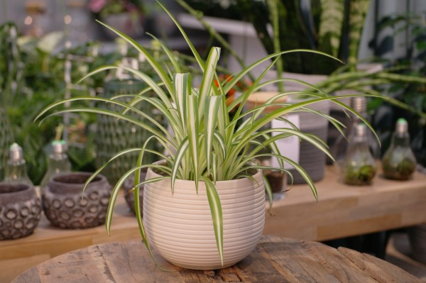 Grünlilie 'Variegatum' - Chlorophytum comos. (13cm Topf, 20-35cm)