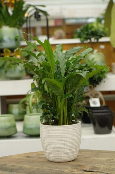 Korbmarante 'Blue Grass' - Calathea rufibarba (12cm Topf, 30-50cm)