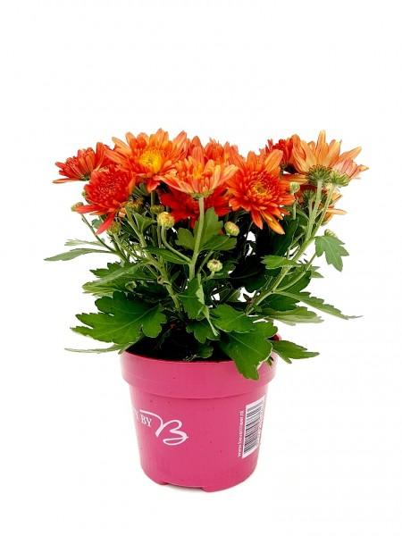 Chrysantheme 'Yahou' orange - Chrysanthemum (12cm Topf, 20-30cm)